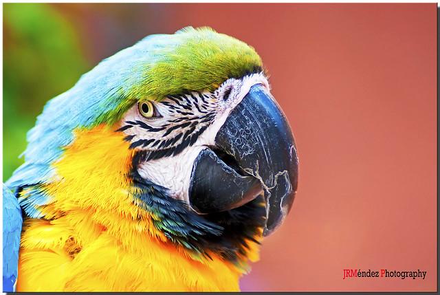La mirada del Guacamayo