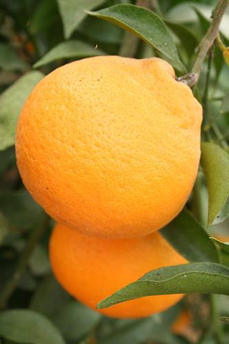 potager NAKANOの柑橘類(その2)