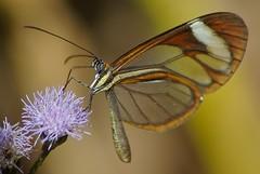 Glasvleugelvlinder (d_smets) Tags: nature butterfly natuur papillon nicaragua mariposa vlinder espejito wow1 wow2 wow3 wow4 tamron70300 clearwing andersreizen wow5 samsunggx10 ithomiapatilla glasvleugelvlinder mariposadecristal allofnatureswildlifelevel1 allofnatureswildlifelevel2 allofnatureswildlifelevel3 allofnatureswildlifelevel4 allofnatureswildlifelevel5 allofnatureswildlifelevel8 allofnatureswildlifelevel6 allofnatureswildlifelevel7 allofnatureswildlifelevel9 allofnatureswildlifelevel10