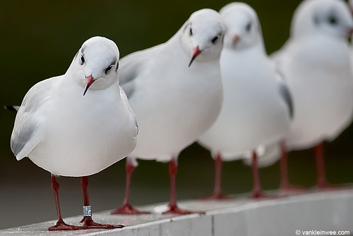 Black-headed Gull, M[Arnhem 3618181]