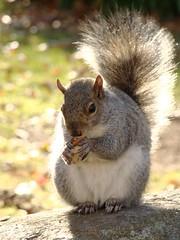 P1140772 (the_green_squirrel) Tags: animals squirrel mammals dailyshoot ds375
