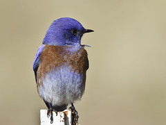 Western Bluebird (multiple views) (Bob Gunderson) Tags: california nature birds northerncalifornia wildlife eastbay bluebirds birdwatcher minesroad westernbluebird sialiamexicana coth supershot specanimal colorphotoaward avianexcellence coth5