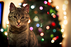 ...he's gunna find out if you're naughty or nice! [+1 in comments] (tumbleweed.in.eden) Tags: christmas cute face tongue cat canon funny bokeh kitty kitteh snarl 500d t1i
