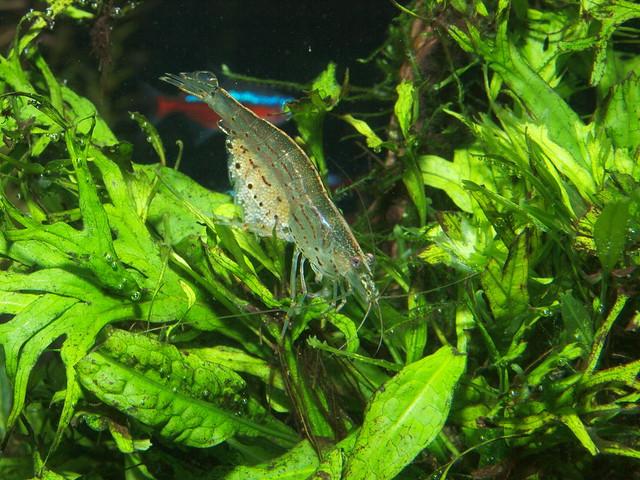 PB304731 大和藻蝦