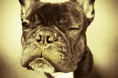 12-01-10 (402)  Wink & Tears (Lainey1) Tags: bw dog funny tears sad sony humor bulldog frenchie frenchbulldog 365 cry tear teardrop wink 402 sepiatone ozzy zendog 120110 nex5 sonynex5 402oz ozzythefrenchie