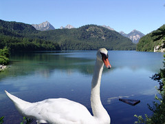 The Swan.........Beauty, Elegance and Royalty (amipreside) Tags: lake mountains lago swan cigno