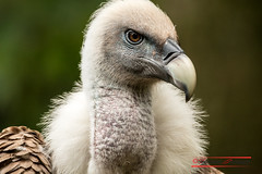 Griffon Vulture (Gyps fulvus) (Thoober) Tags: 2017 canon duisburg eos tiere zoo animals geier gänsegeier vulture raptor bird vogel kopf schnabel tamron150600 gypsfulvus closeup