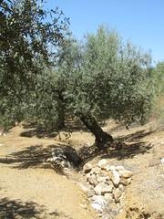 Finca del Nino summer 2017 (LindseyS2008) Tags: fincadelnino periana cantueso olive tree