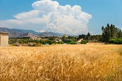 Ready for Harvest (George Plakides) Tags: harvest wheat fields grain argaka myhouse myvillage myfield myworld mydream