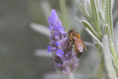 Shy Bee (satochappy) Tags: bee insect lavender flower macro