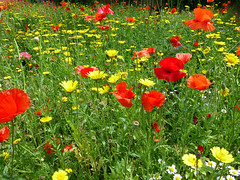 Wild flowers in Walthamstow Village (ArtGordon1) Tags: walthamstow walthamforest walthamstowvillage wildflowers flowers petals london england uk e17 davegordon davidgordon daveartgordon davidagordon daveagordon artgordon1