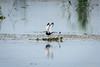 Breeding Pheasant-tailed Jacana (PB2_1859) (Param-Roving-Photog) Tags: pheasanttailed jacana breeding plumage flight landing wings bird water lake wildlife wetland ropar ramsar punjab wildlifephotography indianwildlife birding nikon tamron