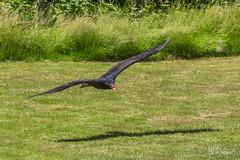 Turkey Vulture (Don Dunning) Tags: animals bird birds britishcolumbia canada northcowichan raptor turkeyvulture vancouverisland vulture