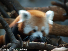 2010-07-25 Mn Zoo 140.JPG (puckster55pics) Tags: redpanda bestshot tropicstrail 20100725mnzoo