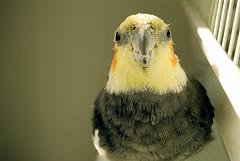 Bird (chrisraym0nd) Tags: bird photography nikon focus warmth cockatiel d60