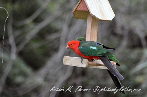 A Pair of King Parrots