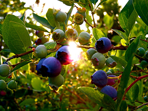 森の工房AMA ブルーベリーまつり!果樹園で摘み取り体験