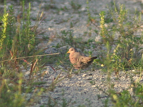 Common Ground-Dove 20100729