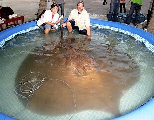 fotos maior peixe do mundo