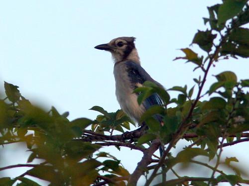 Blue Jay 20100729