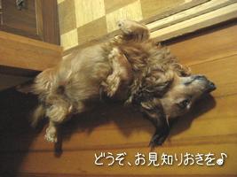 メタボ犬です。お見知りおきを♪