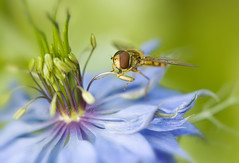 Love-in-the-mist lunch (Jacky Parker Photography) Tags: flower macro nature closeup fauna insect fly flora searchthebest wildlife single stamen bloom pollen hoverfly nigella loveinthemist pollinating macrolife