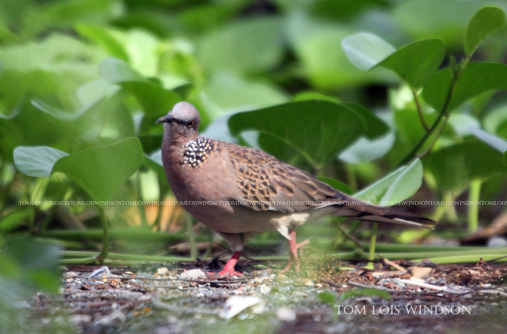 sPOTTED dOVE  Stretopelia chinensis