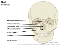 Skull diagram, anterior view with labels part 3 - Axial Skeleton Visual Atlas, page 8 (Rob Swatski) Tags: york podcast college illustration skeleton skull photo model community education lab body head pennsylvania jaw teeth review creative plate commons system medical pa organ study aid human diagram anatomy laboratory learning atlas bone guide practice concha visual cranium biology perpendicular harrisburg skeletal nasal wiki mental clinical physiology mandible connective anterior axial hacc biol itunesu foramen vomer musculoskeletal swatski robswatski biogeekiwiki biol121