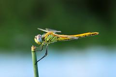 Park (Atakan Eser) Tags: dragonfly yusufcuk dsc3714