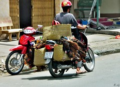 Vietnam transport de poulet (pontfire) Tags: voyage street city trip travel vacation portrait people urban woman holiday plant man flower men fleur animal fruit plante river children temple asia vietnamese femme vietnam enfant saigon mekong homme cantho hochiminh
