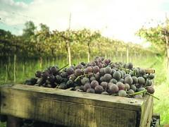 Los vinos de Berisso recorren festivales