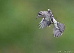 Eastern Wood-Pewee (~ Michaela Sagatova ~) Tags: bird nature inflight dundas easternphoebe bif flycatcher contopusvirens dvca michaelasagatova