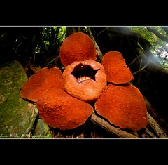 Rafflesia - Biggest flower of the world - Sarawak  - Borneo - Malaysia (Lucie et Philippe) Tags: voyage travel vacances holidays sarawak malaysia borneo malaisie mygearandmepremium mygearandmebronze