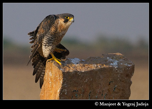 Peregrine Falcon (Falco peregrinus) stretching wing