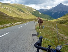 Moo (will_cyclist) Tags: alps cycling switzerland cows albula cowsx