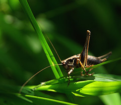 Dark bush cricket and harmony of lines (ufoncz) Tags: macro insect pentax sigma 1770 k10d pentaxk10d