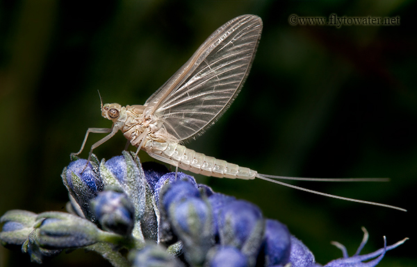Mayfly Royal Purple