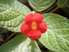 "Single red flower • <a style=""font-size:0.8em;"" href=""https://www.flickr.com/photos/46837553@N03/4964414911/"" target=""_blank"">View on Flickr</a>"