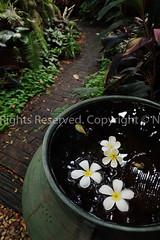 Plantae / ภันเต, Ubon Ratchathani, Thailand