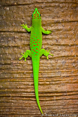 Day Gecko (Burrard-Lucas Wildlife Photography) Tags: green lizard gecko madagascar daygecko viaflickrqcom