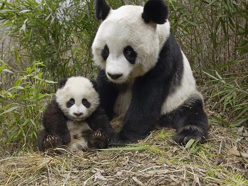 フリー写真素材, 動物, 哺乳類, クマ科, ジャイアントパンダ, 家族・親子(動物),