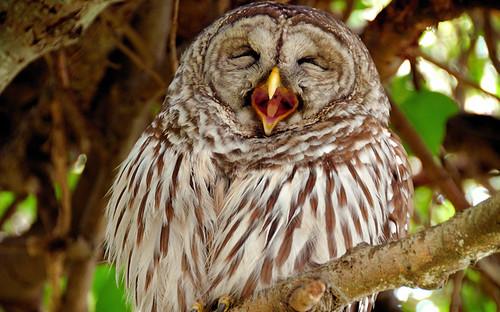 EG_Laughing_Owl