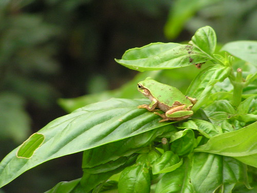 2010.09.08 A Frog on The Basil Leaf