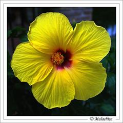Flor del Hibisco. (malachica) Tags: naturaleza flower nature fleur yellow jaune garden flor jardin amarillo giallo hibisco pacifico ltytr1 malachica mygearandme