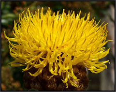 Dads Favourite Flower....EXPLORE #487 (KTDEE....) Tags: uk flower yellow closeup canon lens leicester sigma dads eso centaurea explored 1770mm 450d thistlelike