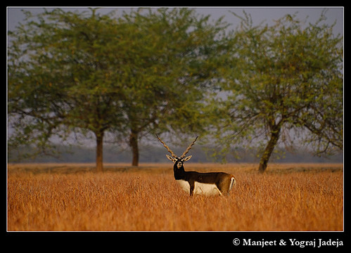 Male Blackbuck (Antilope cervicapra)