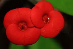 Flor de cactus (chausinho) Tags: euphorbiaceae euphorbiamilii