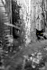 lE Chat (cwywy007) Tags: cat chat noir yeux le et blanc chatnoir