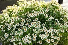 IMG_2306-2 (wen-ren) Tags: flower singapore sentosa imagesofsingapore greenary 18135mm canon550d