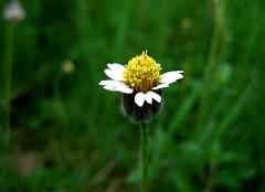 Tiny Flower (Kumaravel) Tags: white flower macro green yellow closeup canon tinyflower kumaravel canonixus95is